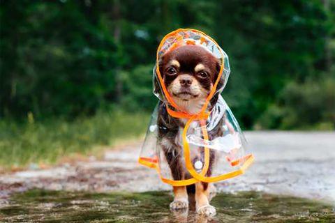 """Объемная аппликация """"Чихуахуа под дождём"""" — фото, картинка"""
