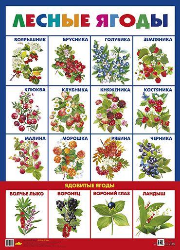 Плакат. Лесные ягоды — фото, картинка